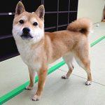 秋葉原 小豆柴の郷の犬