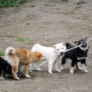 豆柴の子犬たちの運動