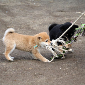 豆柴子犬の運動の様子