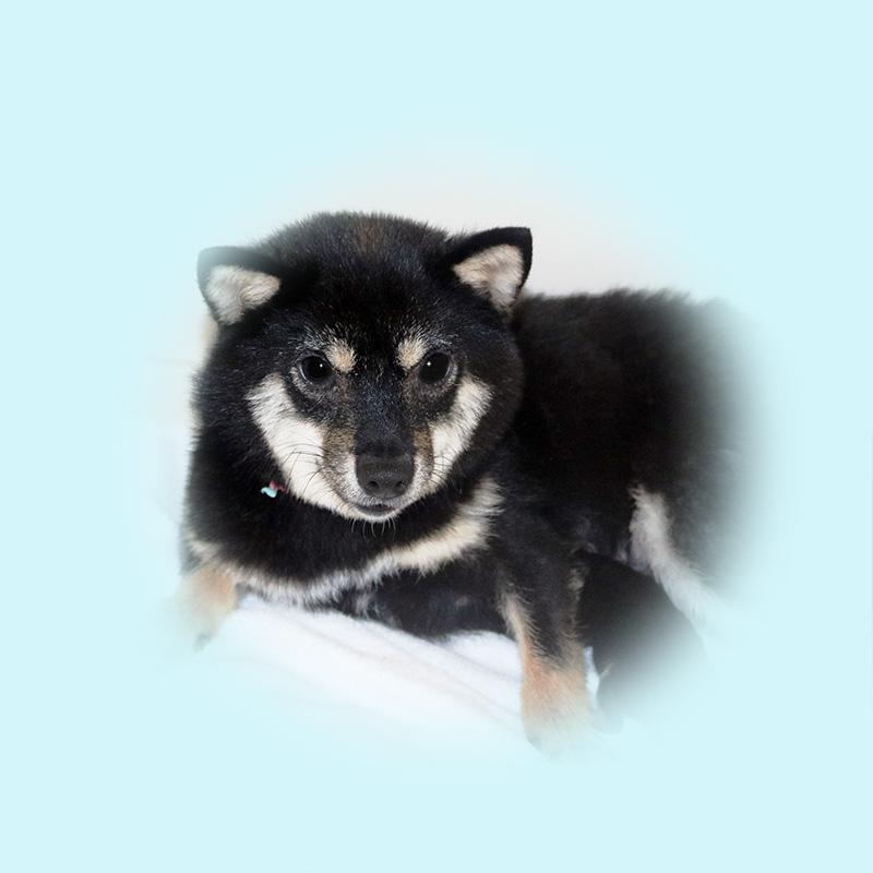 極小豆柴母犬 カゴメちゃん
