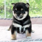 極小豆柴母犬 パセリちゃんの子犬