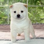 極小豆柴母犬 パセリちゃんの子犬c