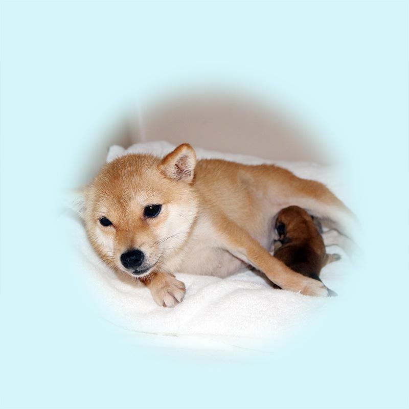 小豆柴母犬 コゲラちゃん