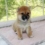 極小豆柴母犬 コゲラちゃんの子犬