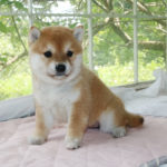 極小豆柴母犬 エボシちゃんの子犬b
