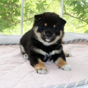 極小豆柴母犬 イチジクちゃんの子犬