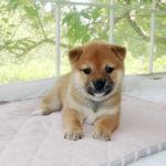 極小豆柴母犬 ニモちゃんの子犬