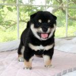 極小豆柴母犬 ヤチヨちゃんの子犬b