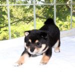 極小豆柴母犬 リツちゃんの子犬