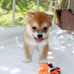 極小豆柴母犬 エレちゃんの子犬