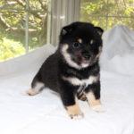 極小豆柴母犬 ポムちゃんの子犬