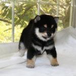 極小豆柴母犬 ポムちゃんの子犬b