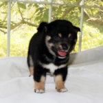 極小豆柴母犬 ポムちゃんの子犬c