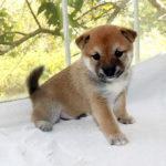 極小豆柴母犬 リミちゃん