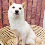 ad109 秋葉原 小豆柴の郷の犬