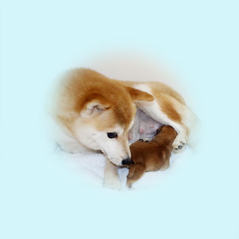 極小豆柴母犬 エレちゃん