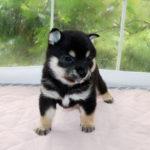 極小豆柴母犬 アヤネちゃんの子犬b