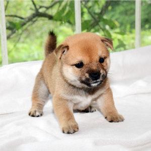 極小豆柴母犬 セリナちゃんの子犬b