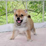 極小豆柴母犬 カヨちゃんの子犬c