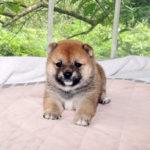 極小豆柴母犬 ミスズちゃんの子犬