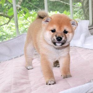 極小豆柴母犬 サンちゃんの子犬a