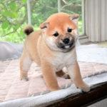 極小豆柴母犬 サンちゃんの子犬b