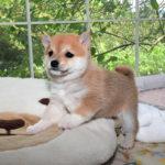 極小豆柴母犬 ユキノちゃんの子犬c