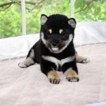 極小豆柴母犬 ジャコちゃんの子犬