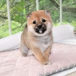極小豆柴母犬 ライちゃんの子犬b
