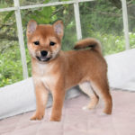 極小豆柴母犬 オヤキちゃんの子犬