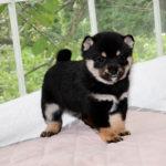 極小豆柴母犬 アヤミちゃんの子犬b