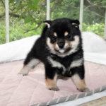 極小豆柴母犬 センちゃんの子犬b