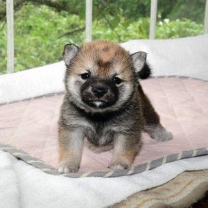 極小豆柴母犬 レンちゃんの子犬b