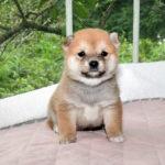 極小豆柴母犬 レンちゃんの子犬a