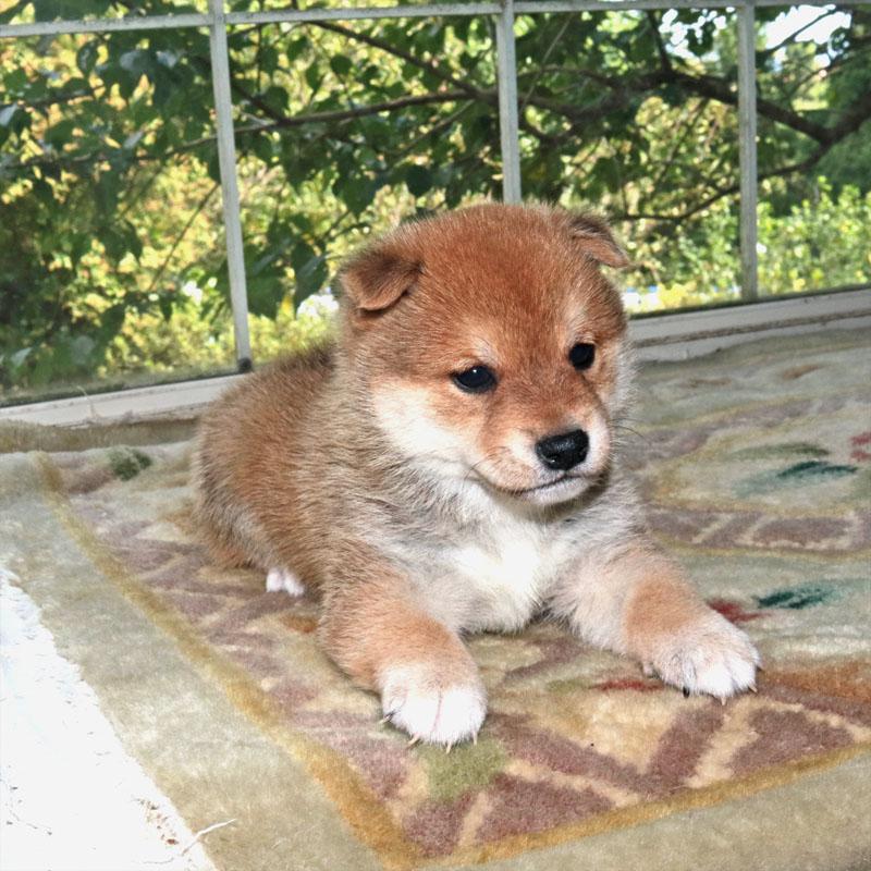 極小豆柴犬 ユキムラくん