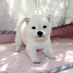 極小豆柴母犬 ヤヨイちゃんの子犬