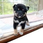 極小豆柴母犬 コノハちゃんの子犬