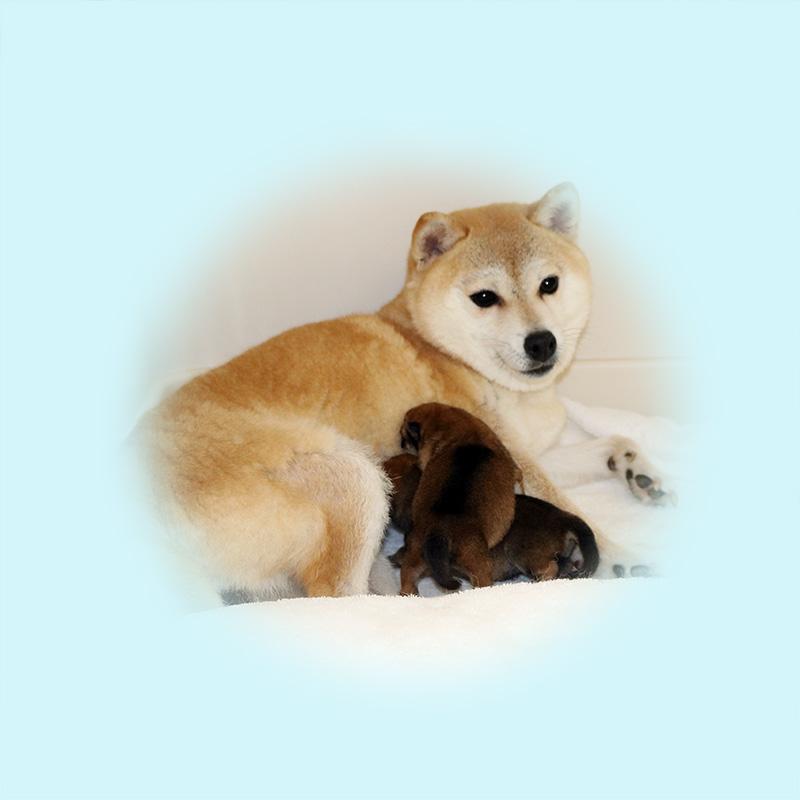 極小豆柴母犬 ポチちゃん