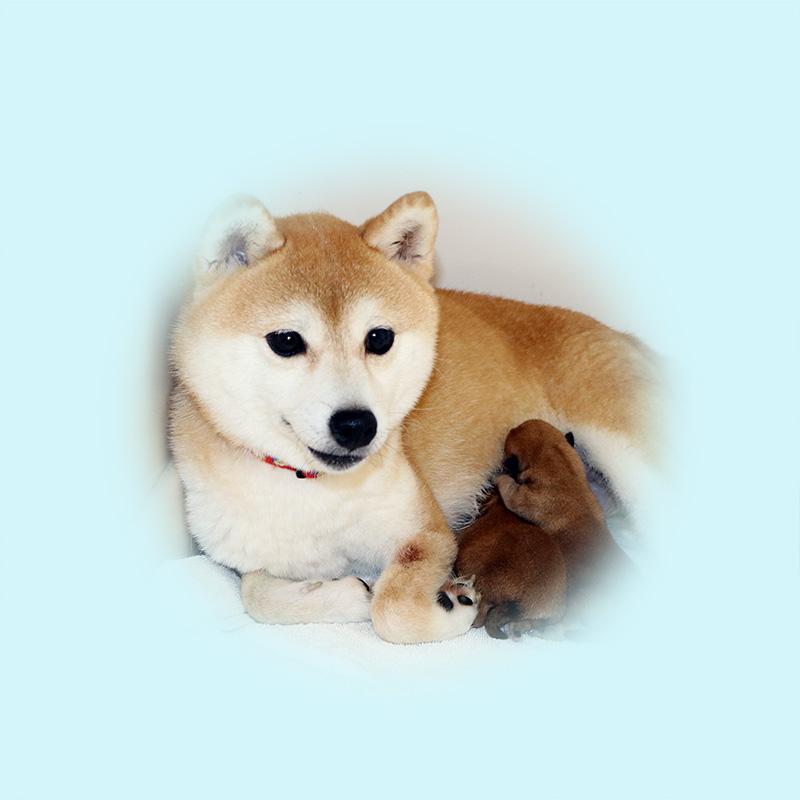 極小豆柴母犬 サンちゃん