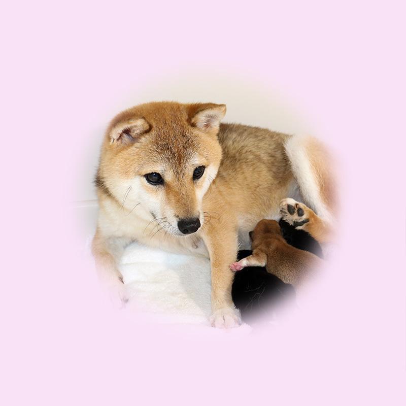 極小豆柴母犬 ユキノちゃん