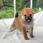 極小豆柴母犬 リイナちゃんの子犬b