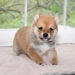 極小豆柴母犬 ヒトミちゃんの子犬