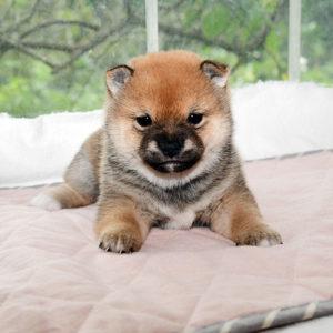 極小豆柴母犬 マルちゃんの子犬b