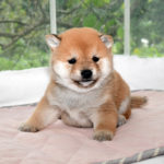 極小豆柴母犬 マルちゃんの子犬a