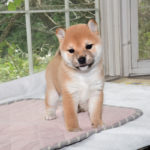 極小豆柴母犬 アメちゃんの子犬