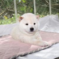 令和2年 9月16日 極小豆柴 コハダちゃんが黒♀白♂ 出産