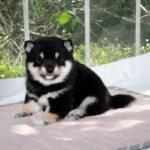 極小豆柴母犬 アーロンちゃんの子犬b