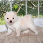 極小豆柴母犬 エナちゃんの子犬c