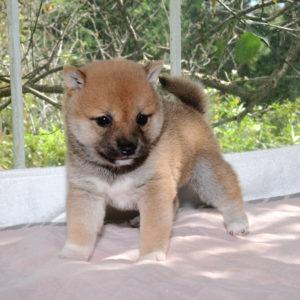 極小豆柴母犬 クコちゃんの子犬b
