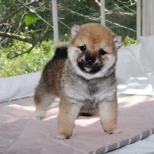 極小豆柴母犬 クコちゃんの子犬a